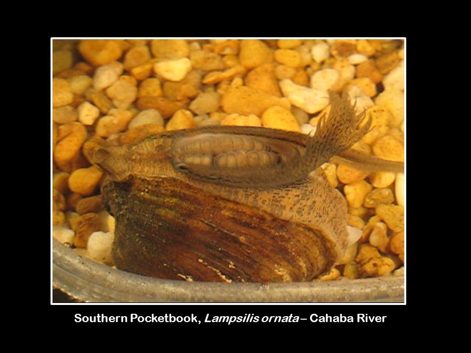 Southern Pocketbook, Lampsilis ornata – Cahaba River