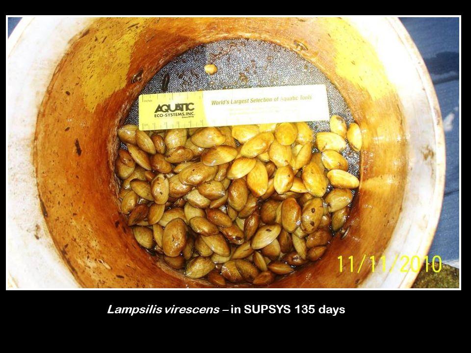 Lampsilis virescens – in SUPSYS 135 days