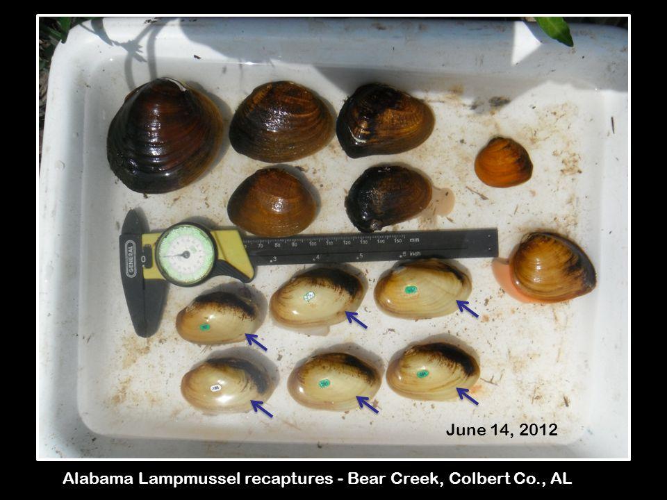 Alabama Lampmussel recaptures - Bear Creek, Colbert Co., AL June 14, 2012