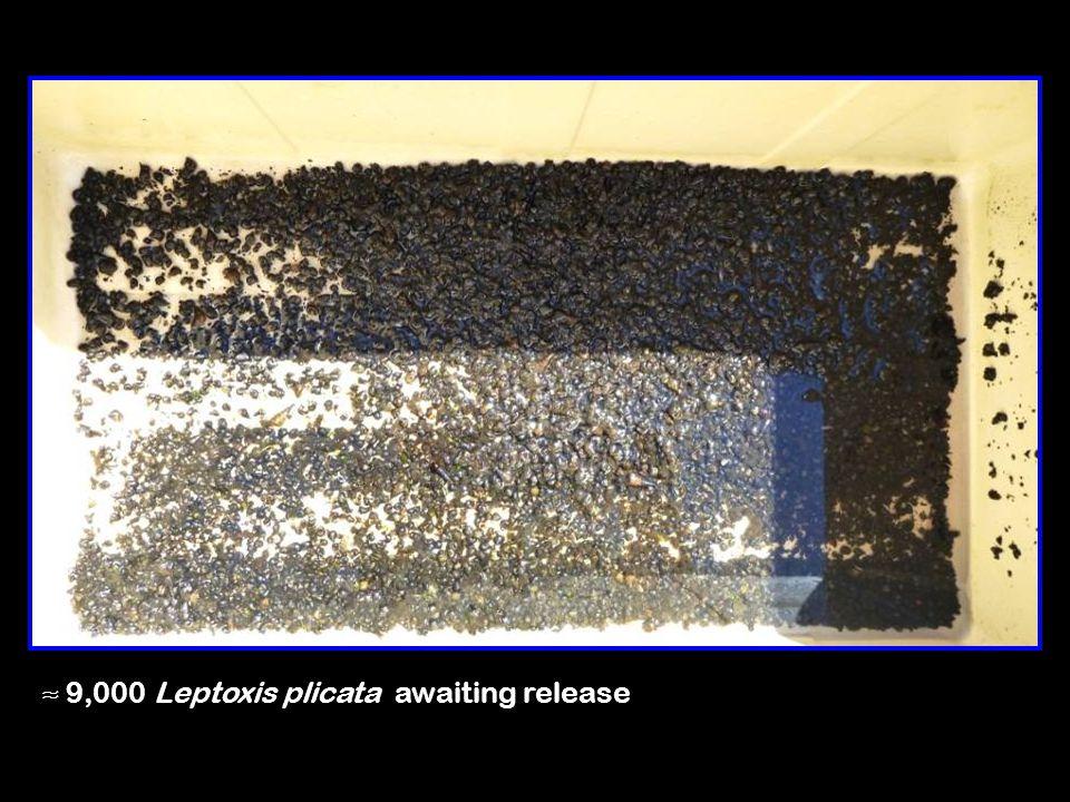 ≈ 9,000 Leptoxis plicata awaiting release