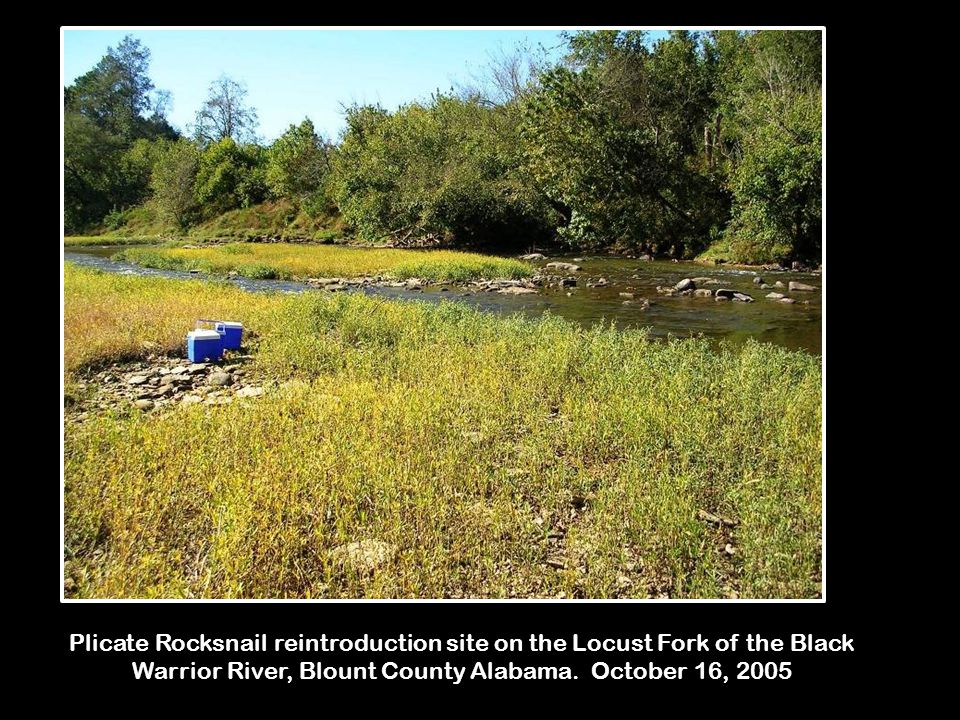 Plicate Rocksnail reintroduction site on the Locust Fork of the Black Warrior River, Blount County Alabama.