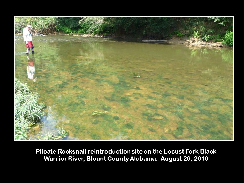 Plicate Rocksnail reintroduction site on the Locust Fork Black Warrior River, Blount County Alabama.