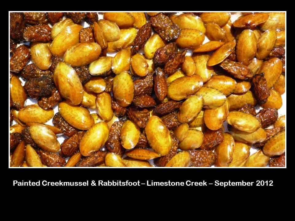 Painted Creekmussel & Rabbitsfoot – Limestone Creek – September 2012
