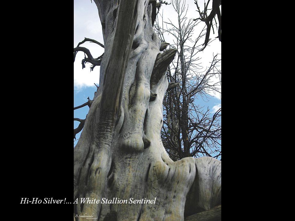 Hi-Ho Silver!... A White Stallion Sentinel