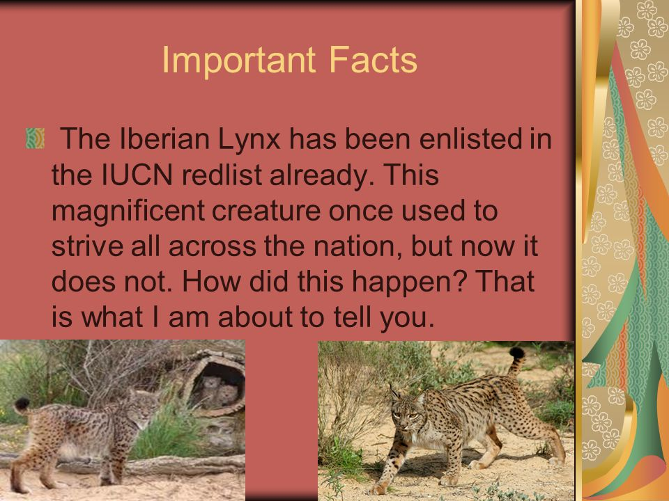 Important Facts The Iberian Lynx has been enlisted in the IUCN redlist already.