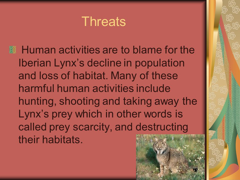 Threats Human activities are to blame for the Iberian Lynx's decline in population and loss of habitat.