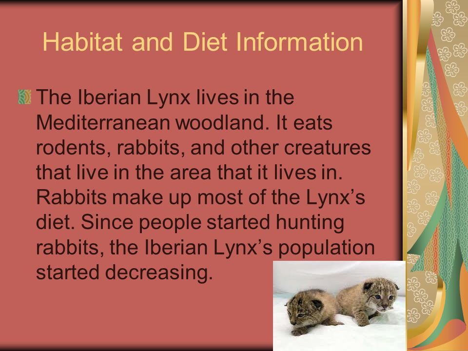 Habitat and Diet Information The Iberian Lynx lives in the Mediterranean woodland.