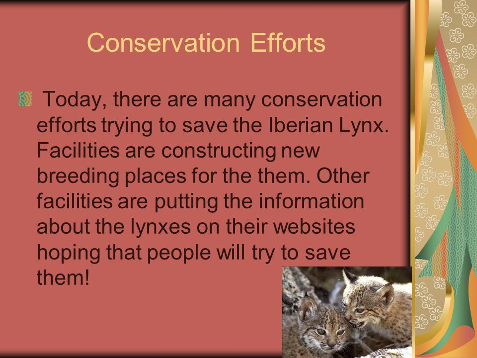 Conservation Efforts Today, there are many conservation efforts trying to save the Iberian Lynx.