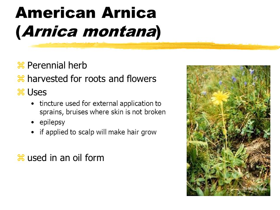 American Arnica (Arnica montana) zPerennial herb zharvested for roots and flowers zUses tincture used for external application to sprains, bruises where skin is not broken epilepsy if applied to scalp will make hair grow zused in an oil form