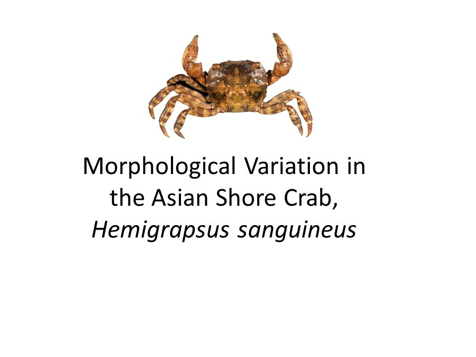 Morphological Variation in the Asian Shore Crab, Hemigrapsus sanguineus