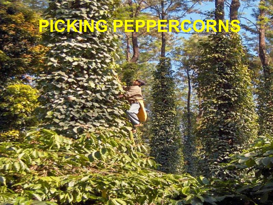 PICKING PEPPERCORNS