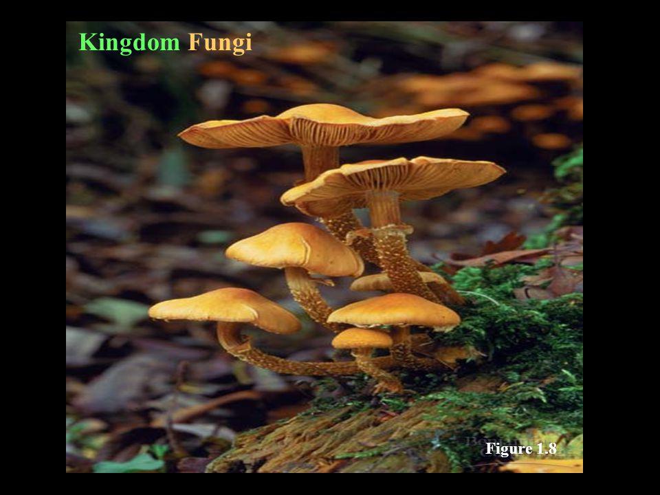 Kingdom Fungi Figure 1.8