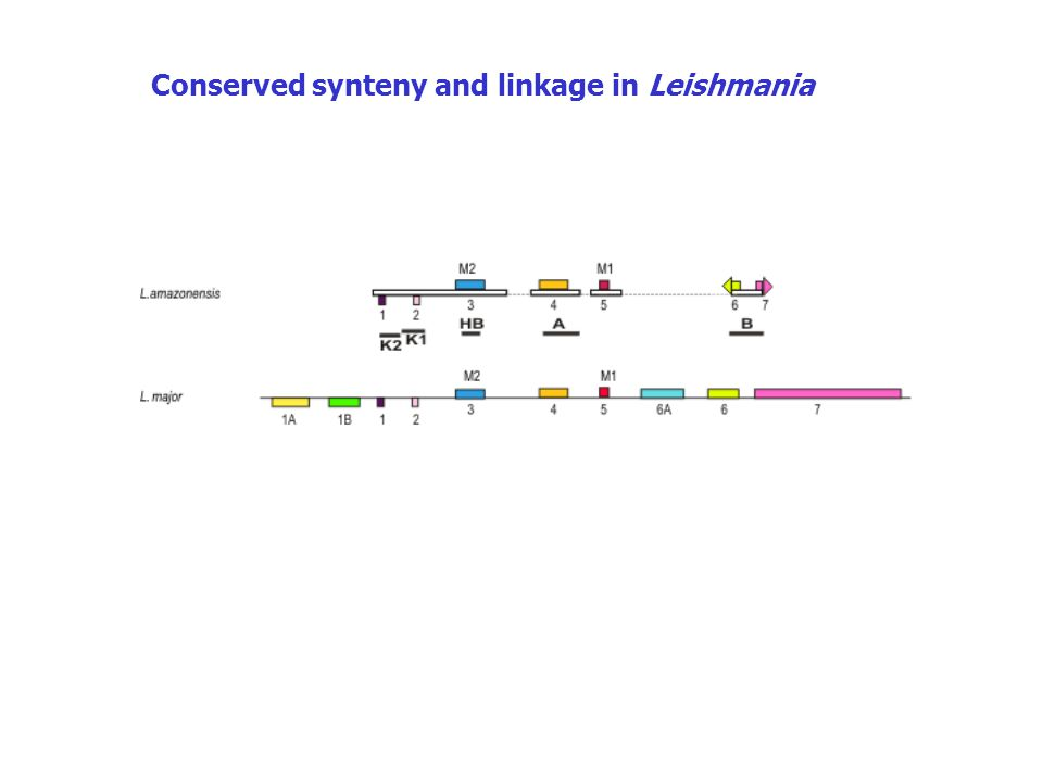 Conserved synteny and linkage in Leishmania
