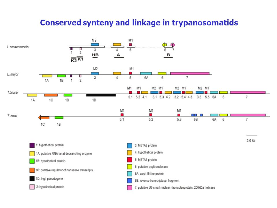 Conserved synteny and linkage in trypanosomatids