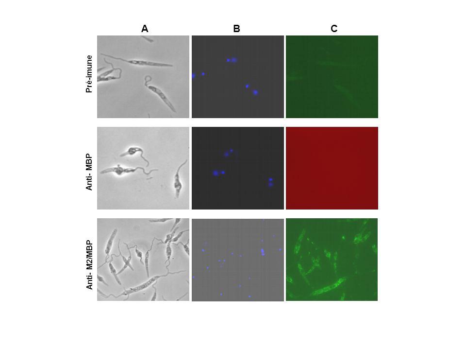 A B C Pré-imune Anti- MBP Anti- M2/MBP