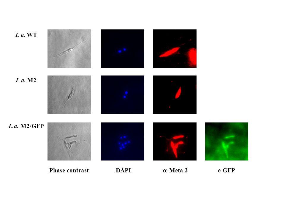 L a. WT L a. M2 L.a. M2/GFP Phase contrast DAPI  -Meta 2 e-GFP