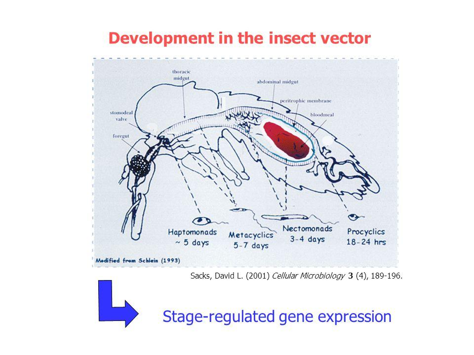 2.1 kb L S rRNA Characterisation of the meta 1 gene in L.