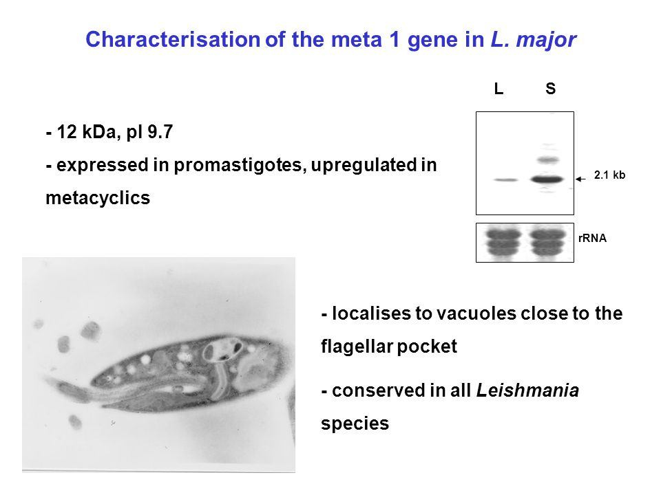 2.1 kb L S rRNA Characterisation of the meta 1 gene in L. major - 12 kDa, pI 9.7 - expressed in promastigotes, upregulated in metacyclics - localises