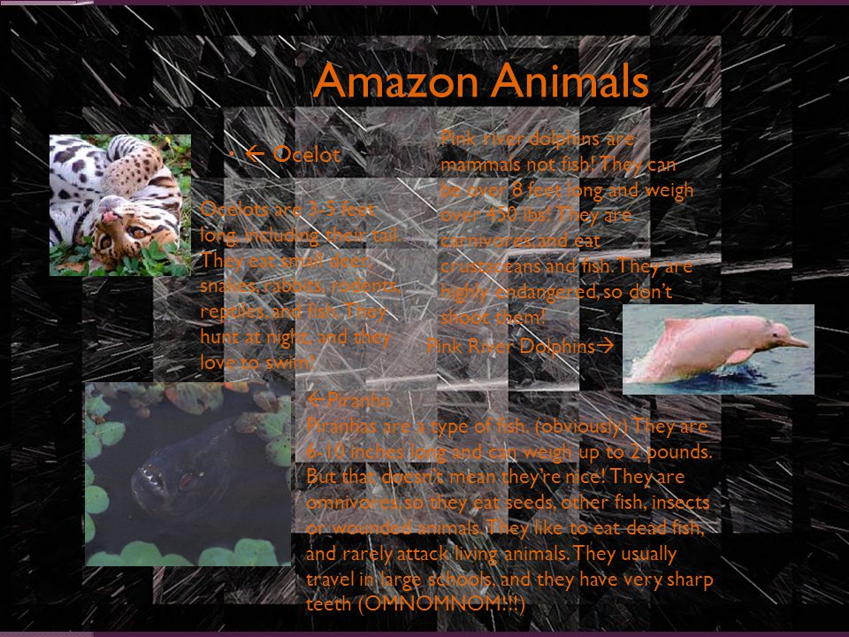 Amazon Animals   Ocelot Pink River Dolphins  Ocelots are 3-5 feet long, including their tail.
