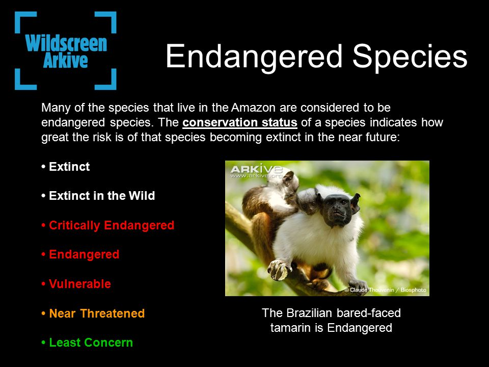 Endangered Species Many of the species that live in the Amazon are considered to be endangered species.