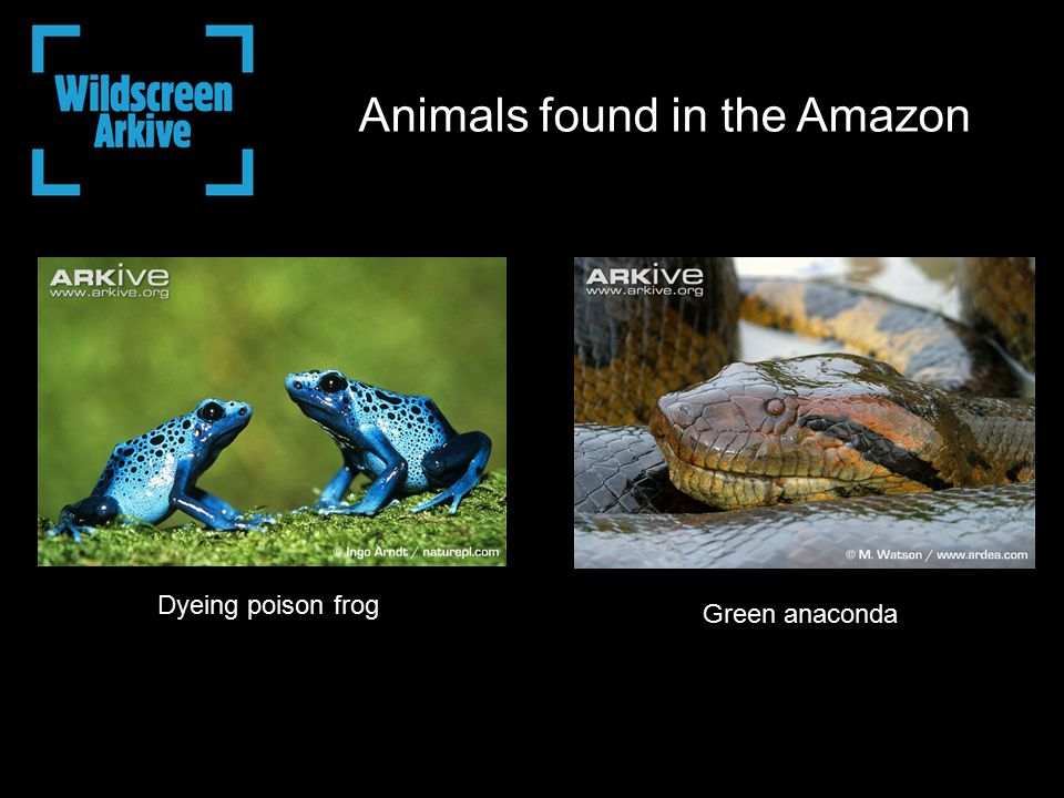 Green anaconda Dyeing poison frog Animals found in the Amazon