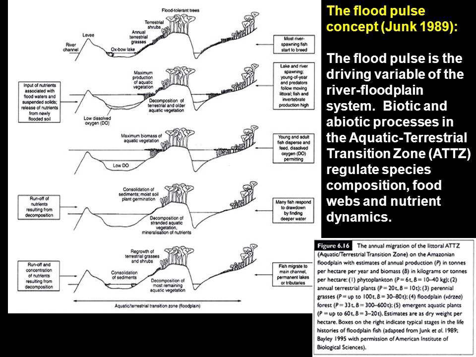The flood pulse concept (Junk 1989): The flood pulse is the driving variable of the river-floodplain system.