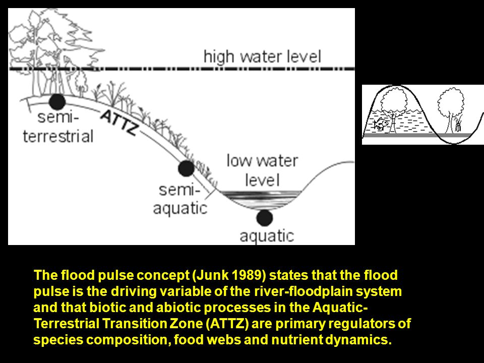 The flood pulse concept (Junk 1989) states that the flood pulse is the driving variable of the river-floodplain system and that biotic and abiotic processes in the Aquatic- Terrestrial Transition Zone (ATTZ) are primary regulators of species composition, food webs and nutrient dynamics.