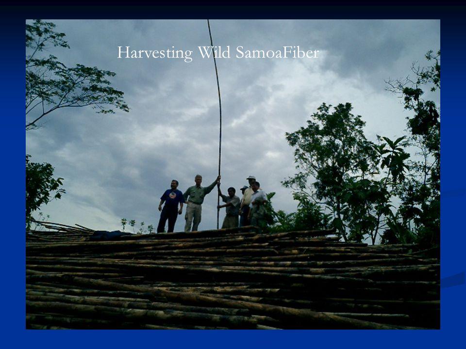 Wild Growth in Peru Harvesting Wild SamoaFiber