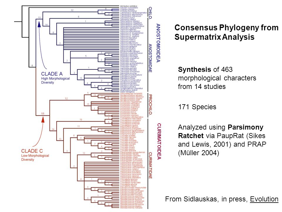 Consensus Phylogeny from Supermatrix Analysis Synthesis of 463 morphological characters from 14 studies 171 Species Analyzed using Parsimony Ratchet via PaupRat (Sikes and Lewis, 2001) and PRAP (Müller 2004) CURIMATOIDEA ANOSTOMOIDEA From Sidlauskas, in press, Evolution