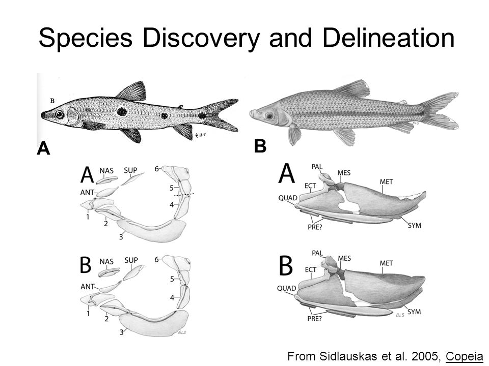 Species Discovery and Delineation From Sidlauskas et al. 2005, Copeia A B