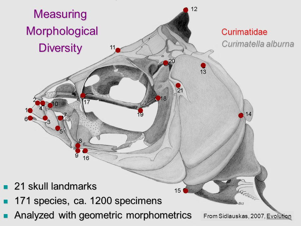 21 skull landmarks 21 skull landmarks 171 species, ca.