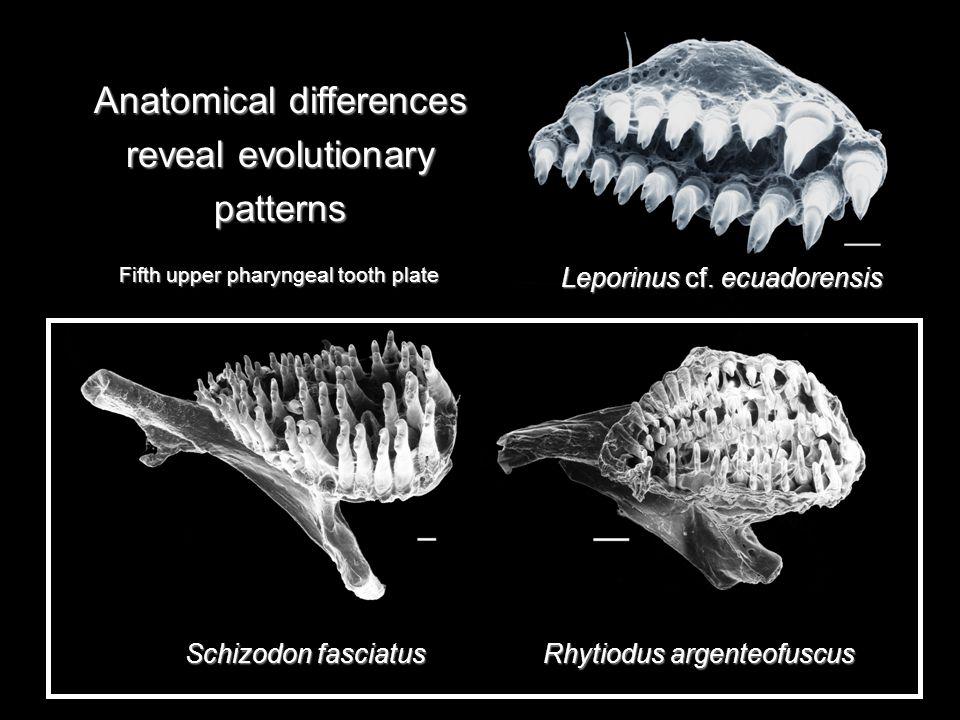Rhytiodus argenteofuscus Schizodon fasciatus Anatomical differences reveal evolutionary patterns Leporinus cf.