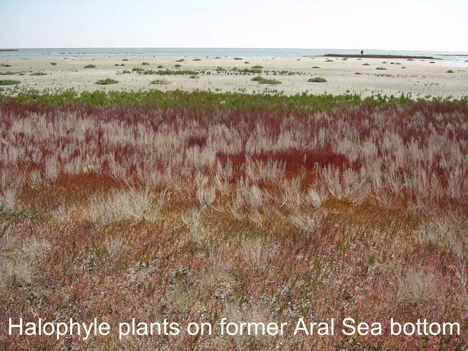 Halophyle plants on former Aral Sea bottom