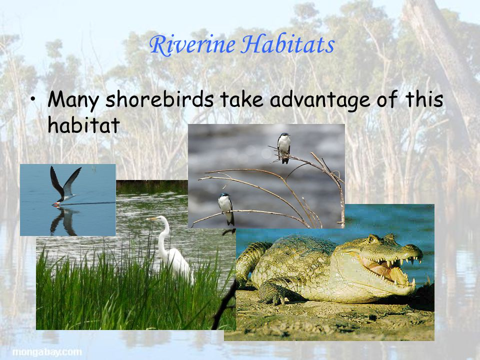 Riverine Habitats Many shorebirds take advantage of this habitat