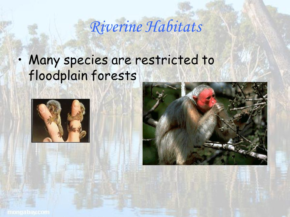 Riverine Habitats Many species are restricted to floodplain forests