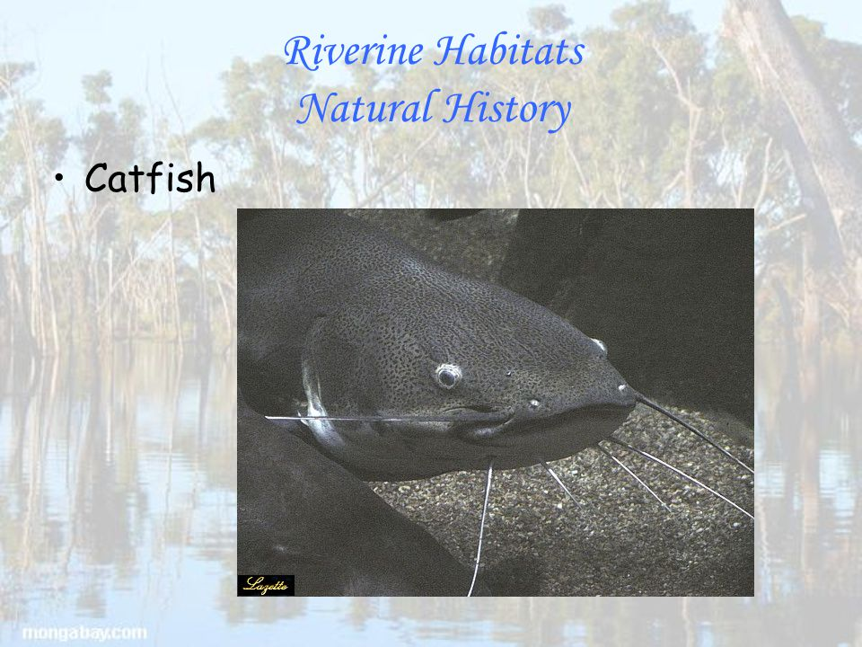 Riverine Habitats Natural History Catfish