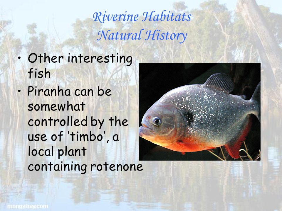 Riverine Habitats Natural History Other interesting fish Piranha can be somewhat controlled by the use of 'timbo', a local plant containing rotenone