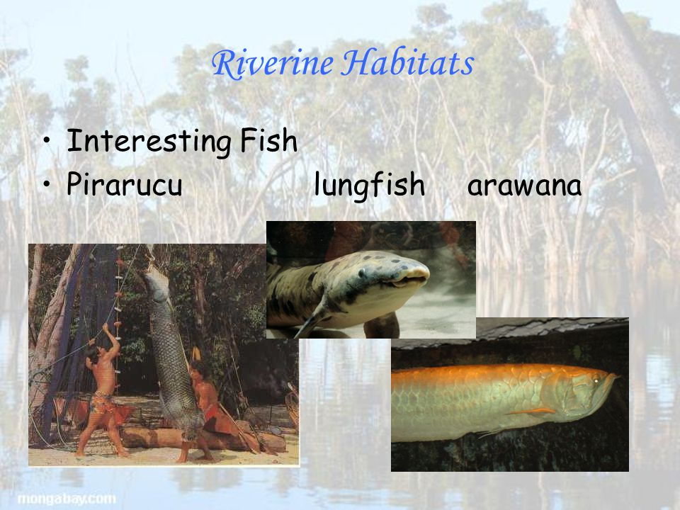 Riverine Habitats Interesting Fish Piraruculungfish arawana
