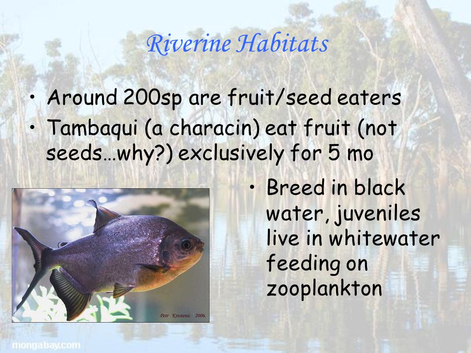 Riverine Habitats Around 200sp are fruit/seed eaters Tambaqui (a characin) eat fruit (not seeds…why ) exclusively for 5 mo Breed in black water, juveniles live in whitewater feeding on zooplankton