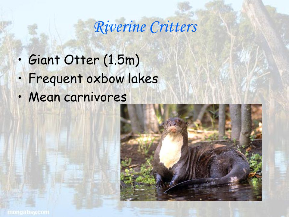 Riverine Critters Giant Otter (1.5m) Frequent oxbow lakes Mean carnivores
