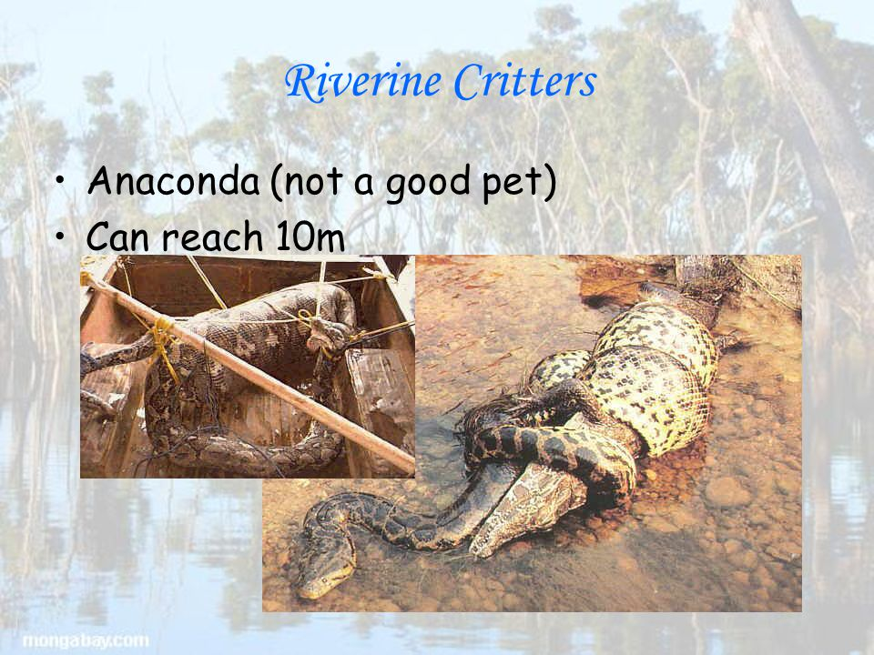 Riverine Critters Anaconda (not a good pet) Can reach 10m