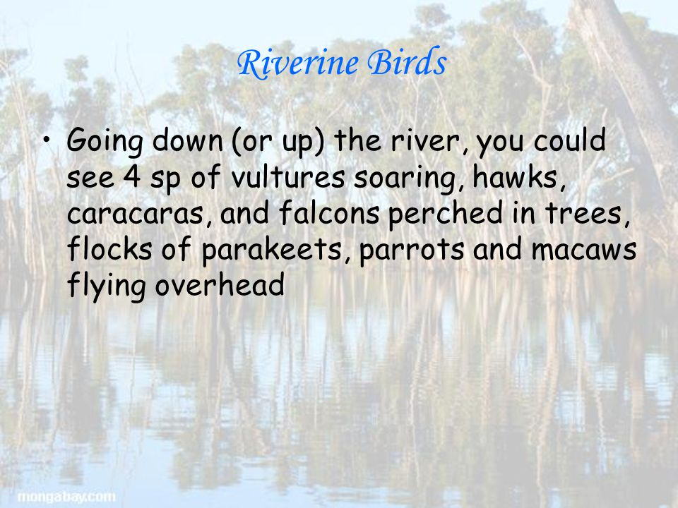 Riverine Birds Going down (or up) the river, you could see 4 sp of vultures soaring, hawks, caracaras, and falcons perched in trees, flocks of parakeets, parrots and macaws flying overhead