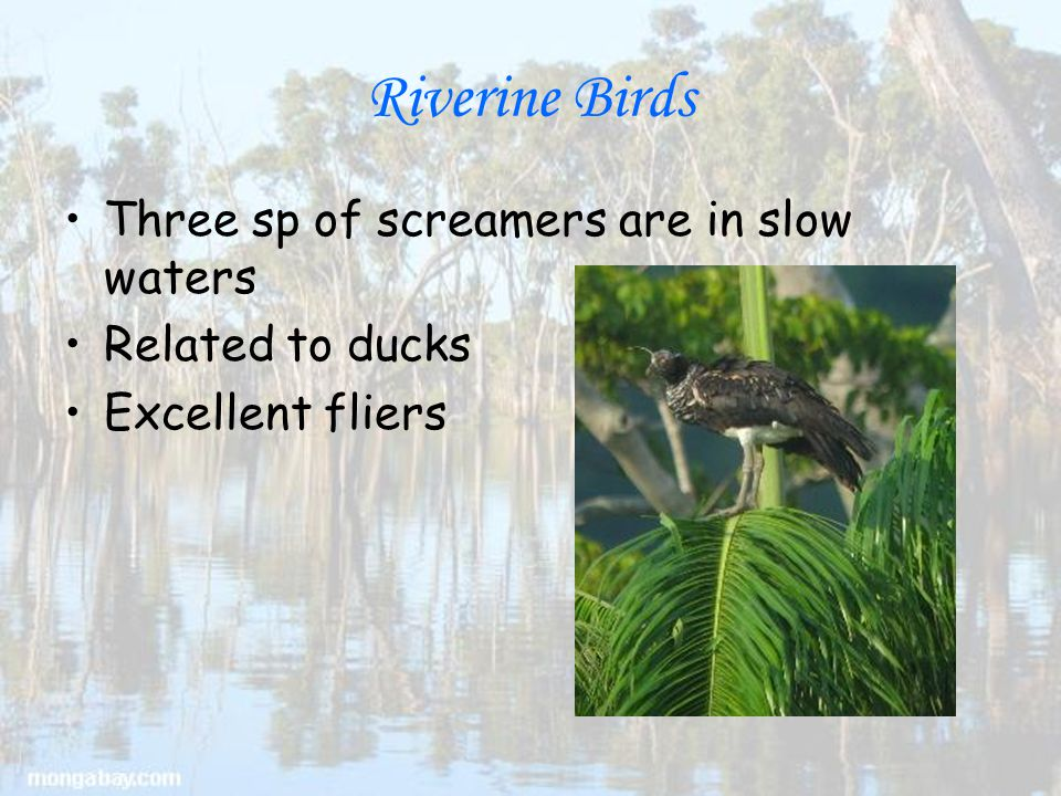 Riverine Birds Three sp of screamers are in slow waters Related to ducks Excellent fliers