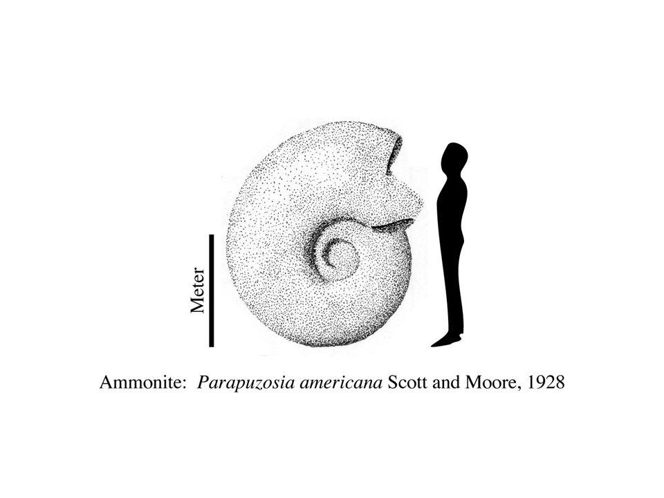 image 54 - Ammonite