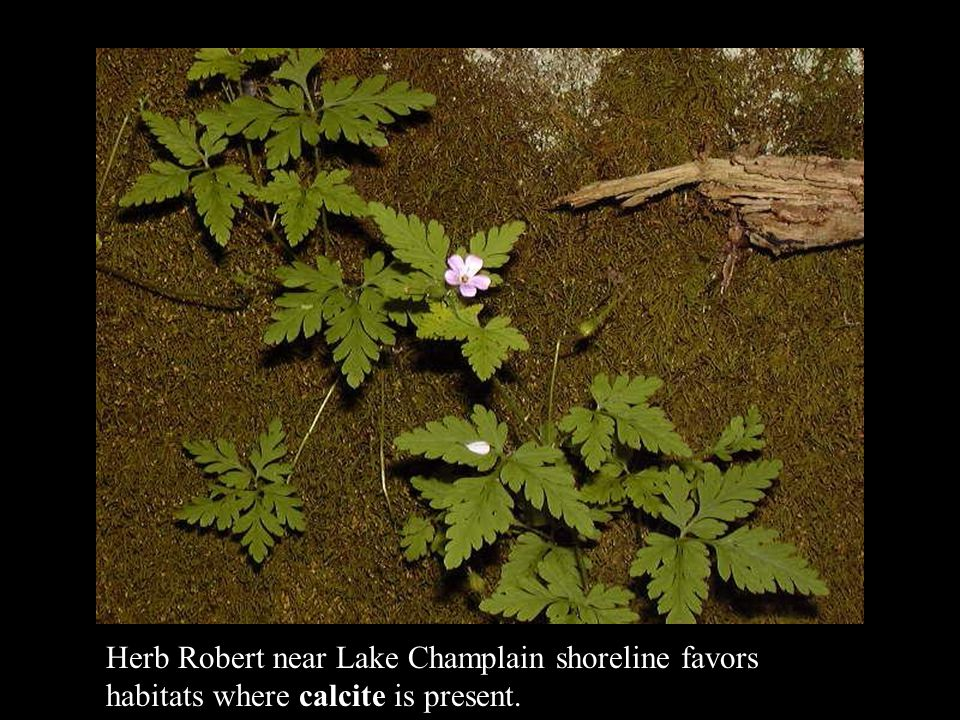 Herb Robert near Lake Champlain shoreline favors habitats where calcite is present.