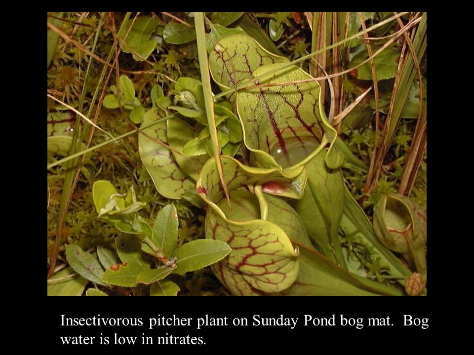 Insectivorous pitcher plant on Sunday Pond bog mat. Bog water is low in nitrates.