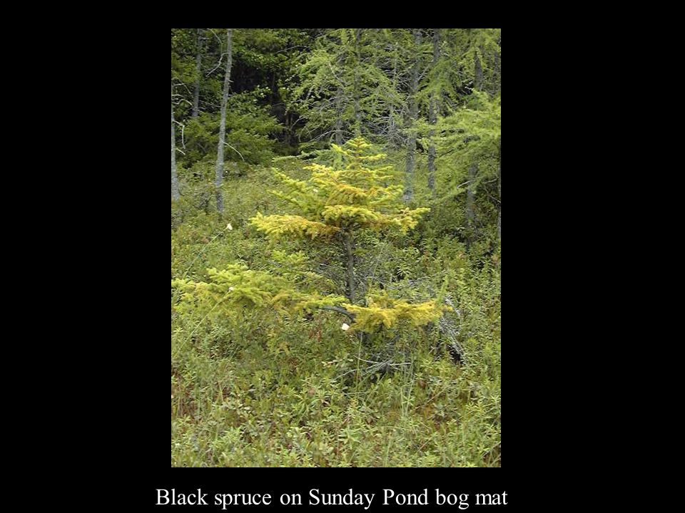 Black spruce on Sunday Pond bog mat