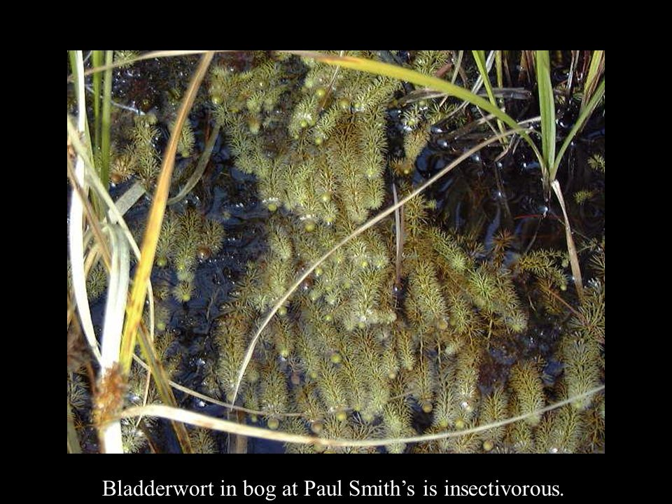Bladderwort in bog at Paul Smith's is insectivorous.