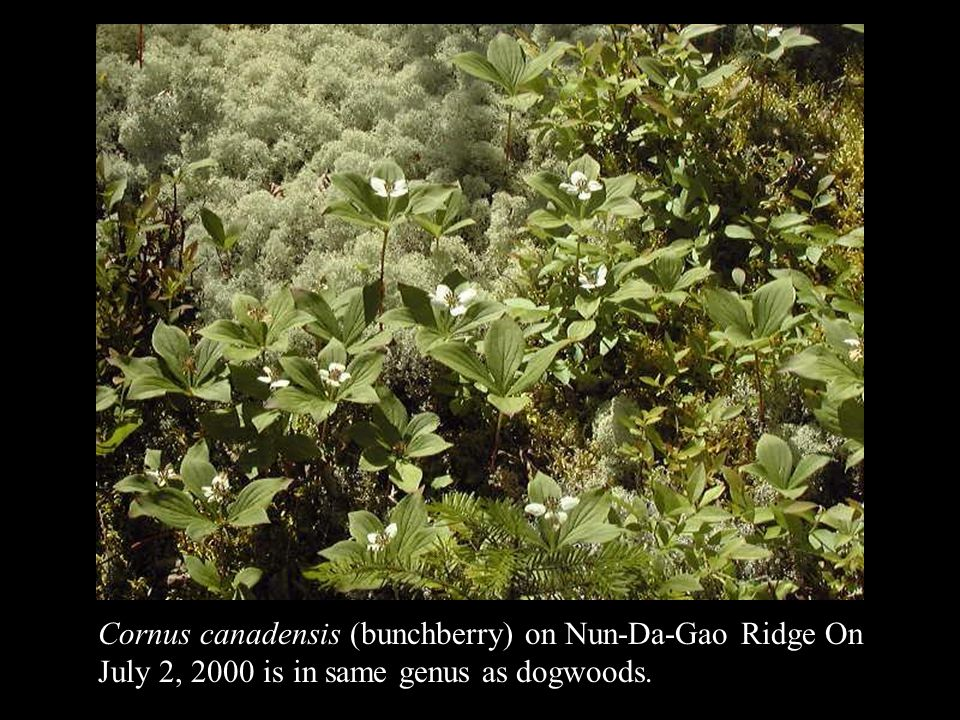 Cornus canadensis (bunchberry) on Nun-Da-Gao Ridge On July 2, 2000 is in same genus as dogwoods.