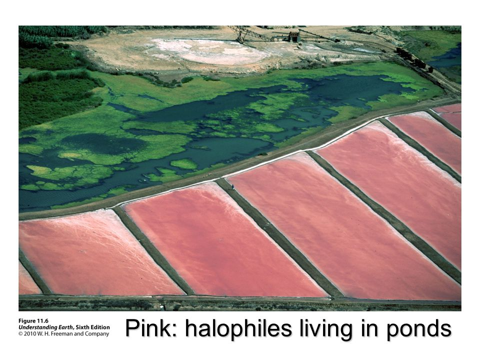 Pink: halophiles living in ponds
